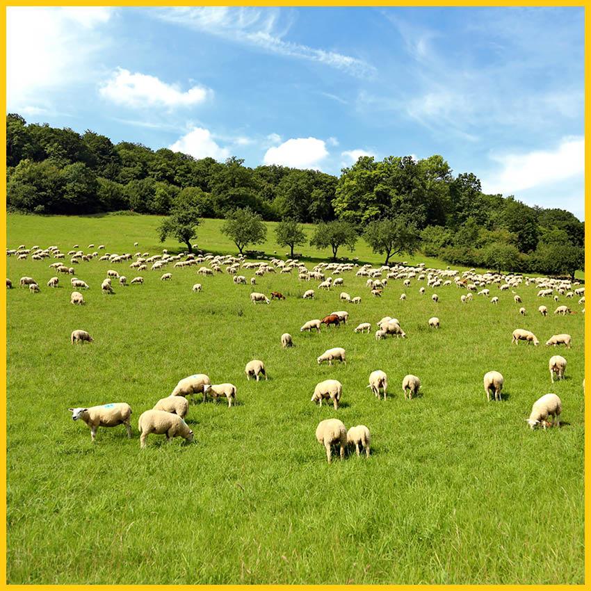 Saftig grüne Wiese mit vielen Schafen und Wald im Hintergrund auf dem Bierradweg durchgeführt vom Werra BIkes