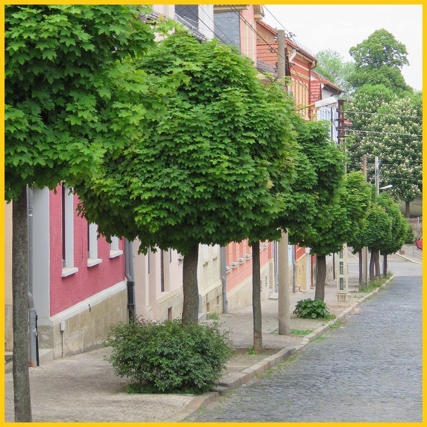 Pflasterstraße mit Ahornbäumen in Apolda auf dem Ilmtalradweg durchgeführt vom Werra Bikes