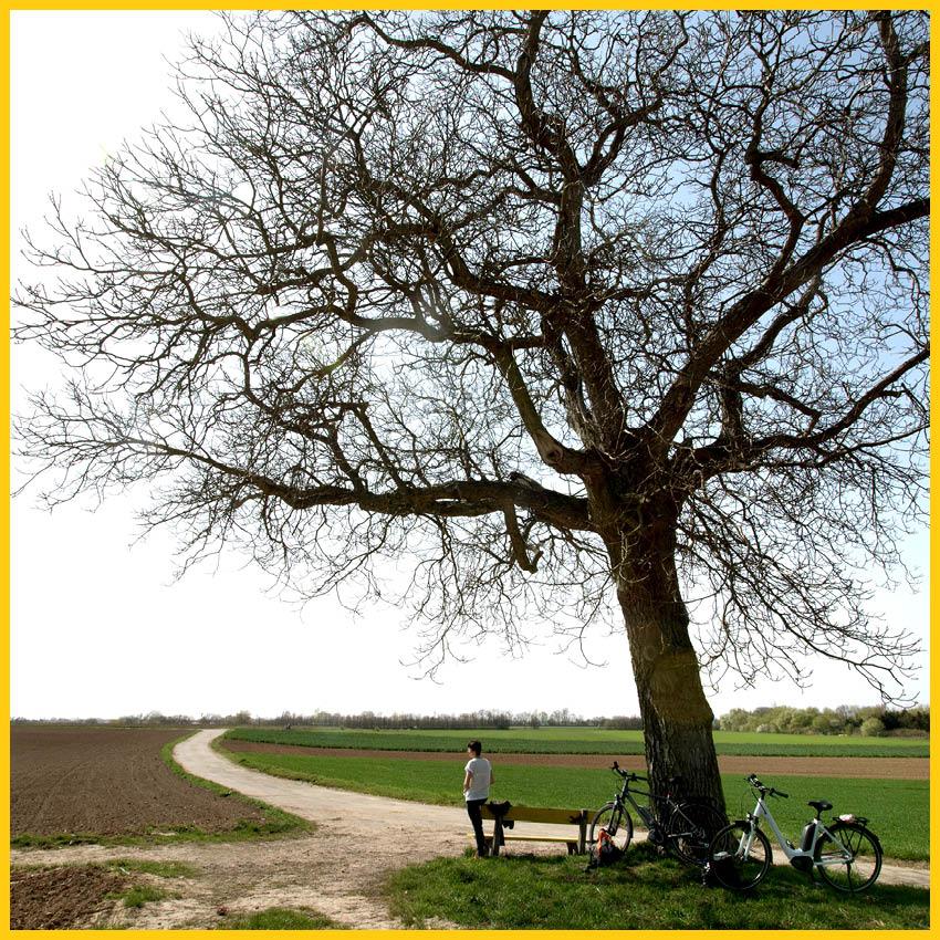 Großer Laubbaum mit einer Bank davor, zwei Fahrrädern und einer Person, die in die Weite des Saalelandes schaut auf dem Radweg Thüringer Städtekette durchgeführt vom Werra Bikes